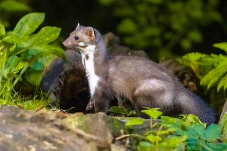 Stone marten (Martes foina) with green natural background. Detail portrait of forest animal. Small predator sitting on the beautiful green mossy tree trunk in the forest. Netherlands. Wildlife scene in nature of Europe. Zdjęcie Seryjne