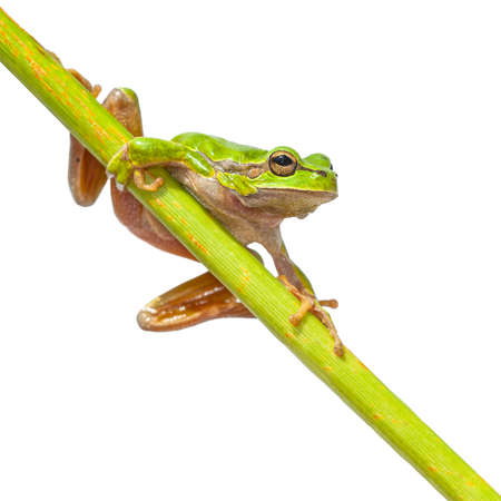 Cute Tree Frog (Hyla arborea) climbing in a very long diagonal green stick, isolated on white background Zdjęcie Seryjne