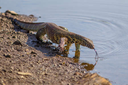 Water monitor (Varanus niloticus) on water edge of river in Kruger national park South Africa