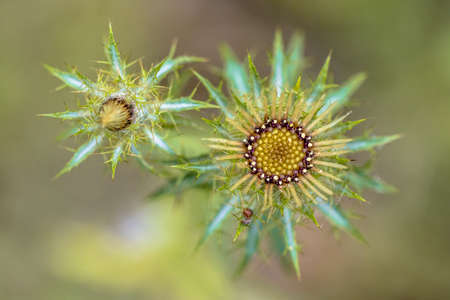 Thistle flower (Carlina vulgaris) artistic top down view of plant with colorful background Zdjęcie Seryjne