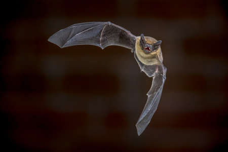 Pipistrelle bat (Pipistrellus pipistrellus) echolocating while flying on attic of house in front of brick wall in darkness. This species is know for roosting and living in urban areas.