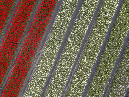 Tulip field Aerial view of bulb-fields in springtime, located near Elp, province of Drenthe, the Netherlands Zdjęcie Seryjne