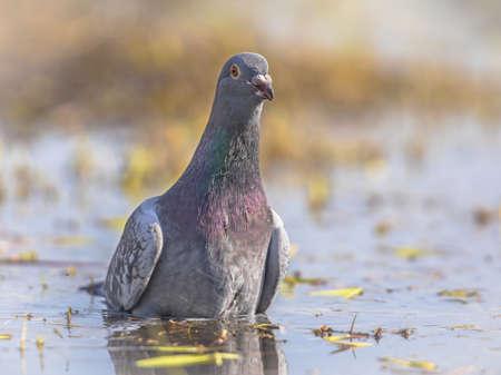 Stock dove (Columba oenas) washing in shallow water of wetland in Flanders Belgium Zdjęcie Seryjne