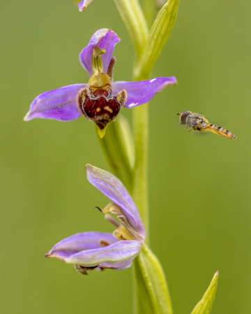 Hoverfly near Bee orchid (Ophrys apifera) pink flowers mimicing humblebee insects to polinate the flower. On blurred green background