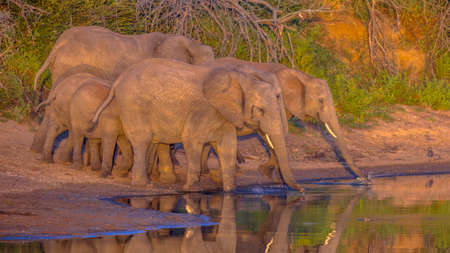 African Elephant (Loxodonta africana)  drinking from pool in early morning sun in Kruger national park South Africa