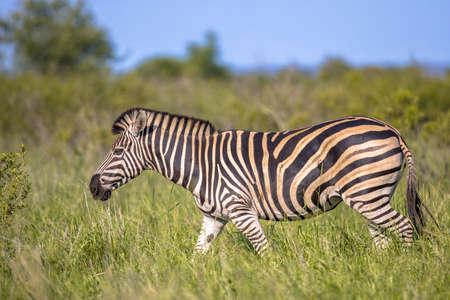 Common Zebra (Equus quagga) walking in green savanna in Kruger national park South Africa Zdjęcie Seryjne