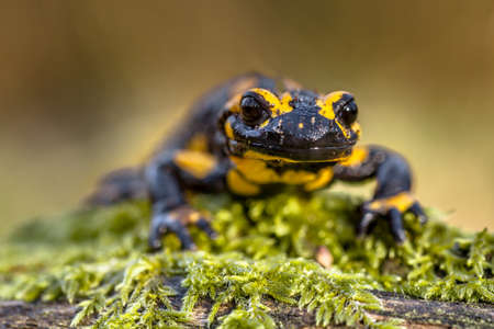 Head shot Threatened Fire salamander newt (Salamandre salamandre) which lives in central European deciduous forests and are more common in hilly areas.