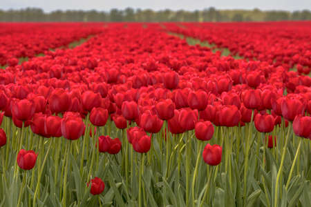 Tulip field sunny scene from closeup flowers in front to the horizon. Netherlands Zdjęcie Seryjne