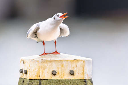 Black-headed gull (Chroicocephalus ridibundus) bird perched and displaying on bollard in harbour of Lauwersoog. Wildlife scene in nature of Europe. Netherlands. Archivio Fotografico