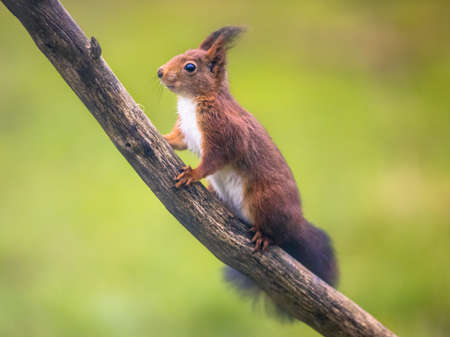 Red squirrel (Sciurus vulgaris) climbing on branch while looking mindful at camera Archivio Fotografico
