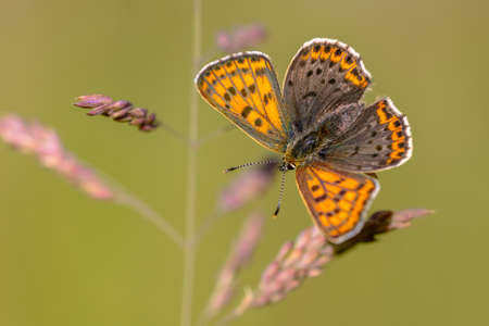 European Butterfly Sooty Copper (Lycaena tityrus) with blurred background, beautiful bokeh. Butterfly in natural environment nature of Europe.