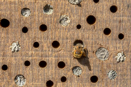 Wild bee building nest in insect hotel in wooden log. teh Netherlands. Wildlife scene in nature of Europe