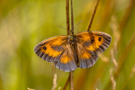 Butterfly Gatekeeper or hedge brown (Pyronia tithonus) scarce insect in natural grassland habitat. Butterfly scene in nature of Europe. The Netherlands.