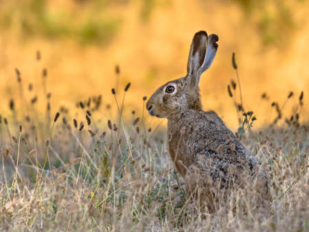 Lepus. Wild European brown hare (lepus europeus) Close-Up On orange Background. Wild Hare With Yellow Eyes, Eating Clover in Grass Under The Morning Sun. Muzzle Of European Brown Hare Among Flowering Wheat