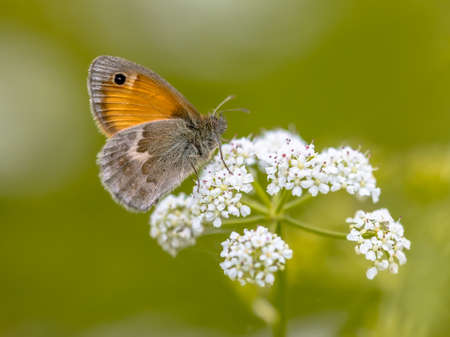 Butterfly Small Heath (Coenonympha pamphilus) feeding on white flowers on green background. Wildlife scene in nature of Europe. Netherlands
