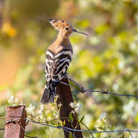 Eurasian hoopoe (Upupa epops) perched on metal pole in natural agricultural landscape. Wildlife scene in nature. France Archivio Fotografico