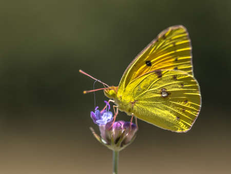 Clouded Yellow butterfly (Colias croceus) fedding on nectar of flower on green background. Wildlife scene in nature. France.
