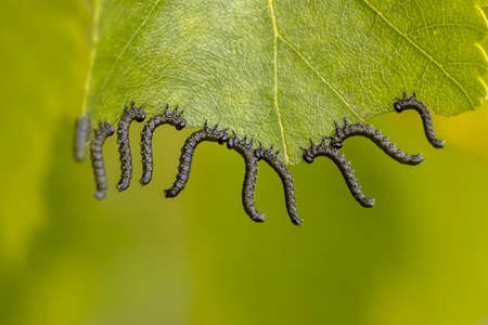 Group of caterpillars eating a leaf simultaniously. Business concept for teamwork.