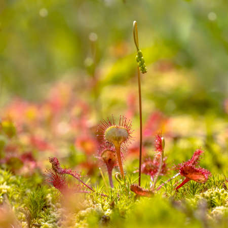 Round-leaved sundew (Drosera rotundifolia) growing in moss on tranquil green background. Vegetation scene in nature of Europe. The Netherlands.
