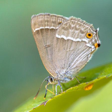 Purple hairstreak (Neozephyrus quercus) butterfly eating sugars on leaves of oak