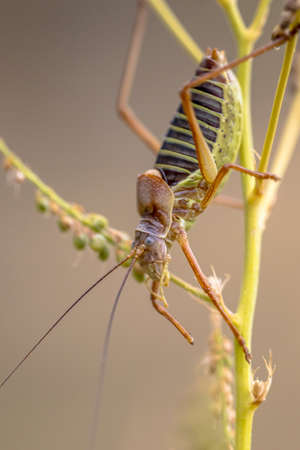 Famous Saddle-backed bush cricket (Ephippiger ephippiger). This distinctive grasshopper is found in all of Europe except the British Isles. It is known as biological pest control repellent. Archivio Fotografico