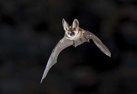 Flying bat on dark background. The grey long-eared bat (Plecotus austriacus) is a fairly large European bat. It has distinctive ears, long and with a distinctive fold. It hunts above woodland, often by day, and mostly for moths.