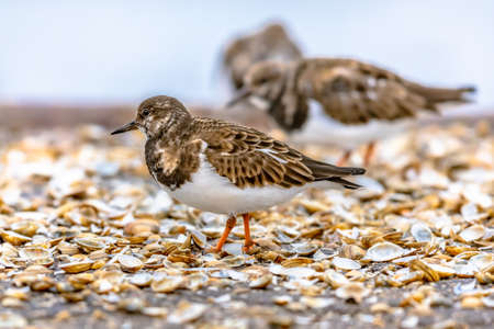 Ruddy turnstone (Arenaria interpres) shore bird feeding on coast. Wildlife scene in nature of Europe. Netherlands.