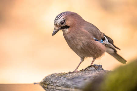 Curious Eurasian Jay (Garrulus glandarius) bird on a river bank in the forest with bright bacground, wildlife in nature. Netherlands
