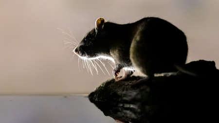Brown rat (Rattus norvegicus) on bank at night. Netherlands. Wildlife in nature of Europe.
