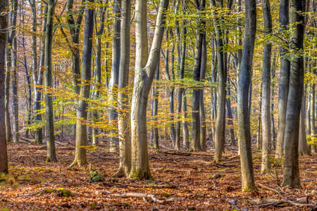 Beech trees in autumn forest with colorfull fall foliage in hazy conditions. Veluwe, Gelderland Province, the Netherlands.