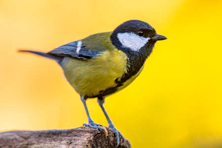 Great tit (Parus major) garden bird perched on branch with beautiful autumn background. Little songbird in nature forest habitat, Wildlife scene from nature. Archivio Fotografico