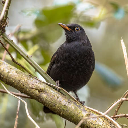 Common blackbird (Turdus merula). One of the most familiar birds in parks and gardens of Europe. Male bird perched on branch in tree and looking for food. Wildlife in nature. Netherlands Archivio Fotografico