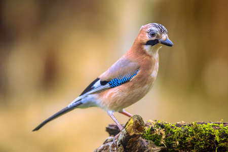 Curious Eurasian Jay (Garrulus glandarius) bird on a lichen and mossy stump in the forest with bright bacground, wildlife in nature. Netherlands Archivio Fotografico
