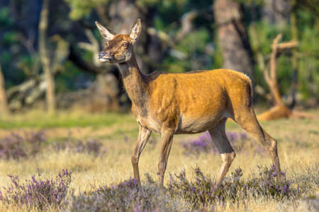 Female Red deer (Cervus elaphus) during rutting season in autumn, Veluwe, Netherlands. Wildlife scene of nature in Europe.