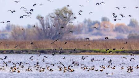 Flock of migrating birds northern lapwing (Vanellus vanellus) taking off from feeding habitat in Lauwersmeer. Wildlife scene in nature of Europe.Netherlands.