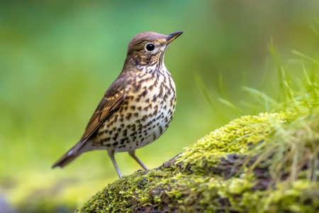Song thrush (Turdus philomelos) perched on ground with green ecological garden background. One of the most familiar birds in parks and gardens of Europe. Wildlife in nature. Netherlands.