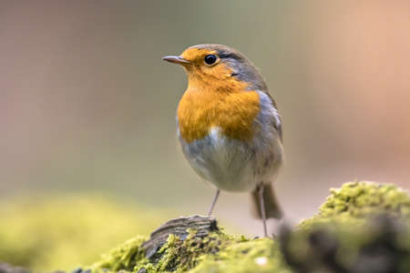 Red robin (Erithacus rubecula) bird foraging in an ecological garden on bright background. This bird is a regular companion during gardening pursuits. Wildlife in nature. Netherlands. Archivio Fotografico