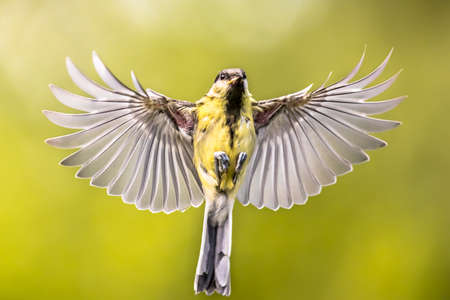 Bird in Flight. Great tit (Parus major) frontal view  just before landing with  stretched wings and spread feathers on green garden background
