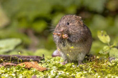 Field vole or short-tailed vole (Microtus agrestis) eating berry in natural habitat green forest environment.