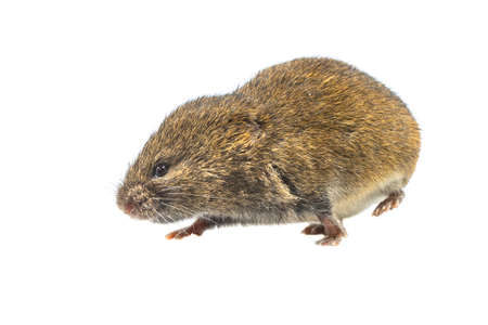 Field vole or short-tailed vole (Microtus agrestis). Small vole with brown fur walking on white background Archivio Fotografico