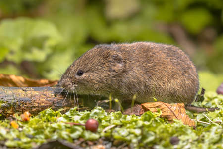 Field vole or short-tailed vole (Microtus agrestis) walking in natural habitat green forest environment.