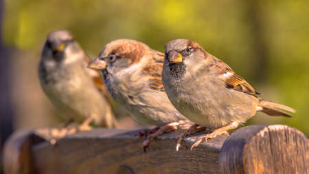 Group of House Sparrow (Passer domesticus) on the Back of a Terrace Chair Archivio Fotografico