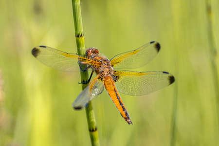 Scarce chaser (Libellula fulva) dragonfly. Male resting on grass stem on bright green background Archivio Fotografico