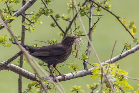 turdidae: A female blackbird carrying nesting material in a hawthorn hedge.