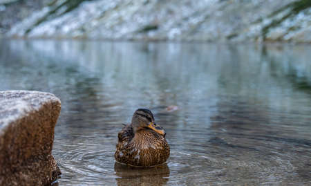 Dignified female mallard duck cleaning feathers and drinking cold mountain lake water