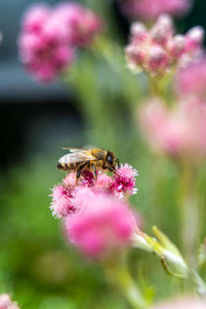 Small hard working bee gathering pink flower pollen during sunny spring or summer day at the garden. Honeybees known for construction nests from wax, and their surplus production and storage of honey