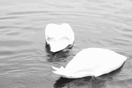 Ducks with heads down in the water photo
