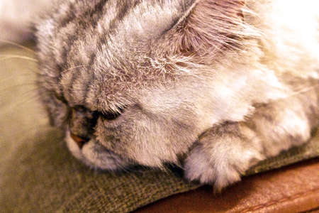 The cat can sleep up to 18 hours in a day when adult. Stock Photo
