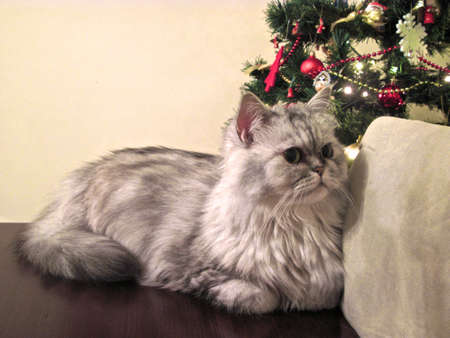 cat resting on the table with the exceptional agreement of the owner in a christmas time. Stock Photo