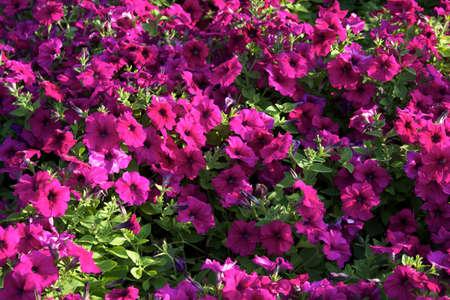 petunia solfinia Stock Photo